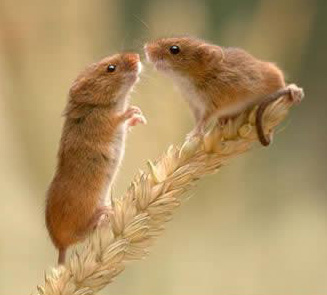 image of two mice on a stalk of grain
